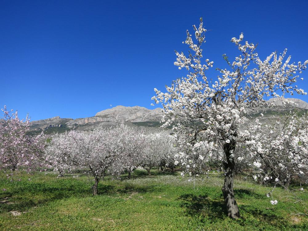 Almendros en flor y Serra de Bernia