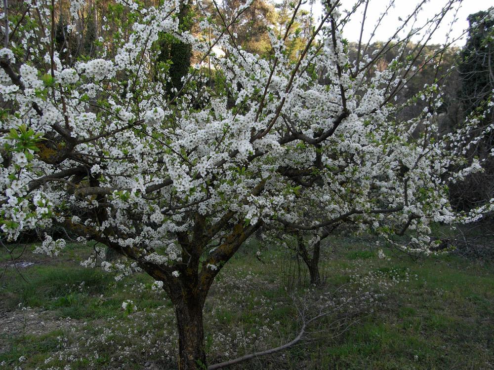 Almendros en flor, Agres